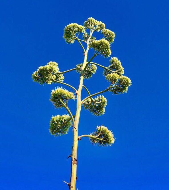 Agave fiore nobile