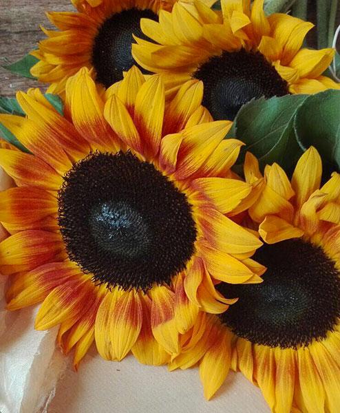 Il fiore dell'estate: il girasole