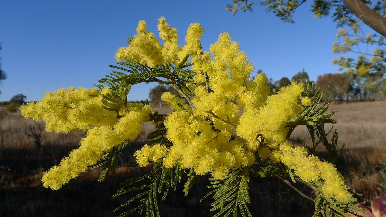 Coltivare la mimosa in vaso buona festa delle donne for Mimosa in vaso