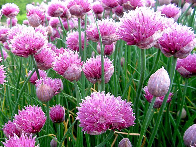 Belle e buone: come coltivare erba cipollina e tulbaghia violacea