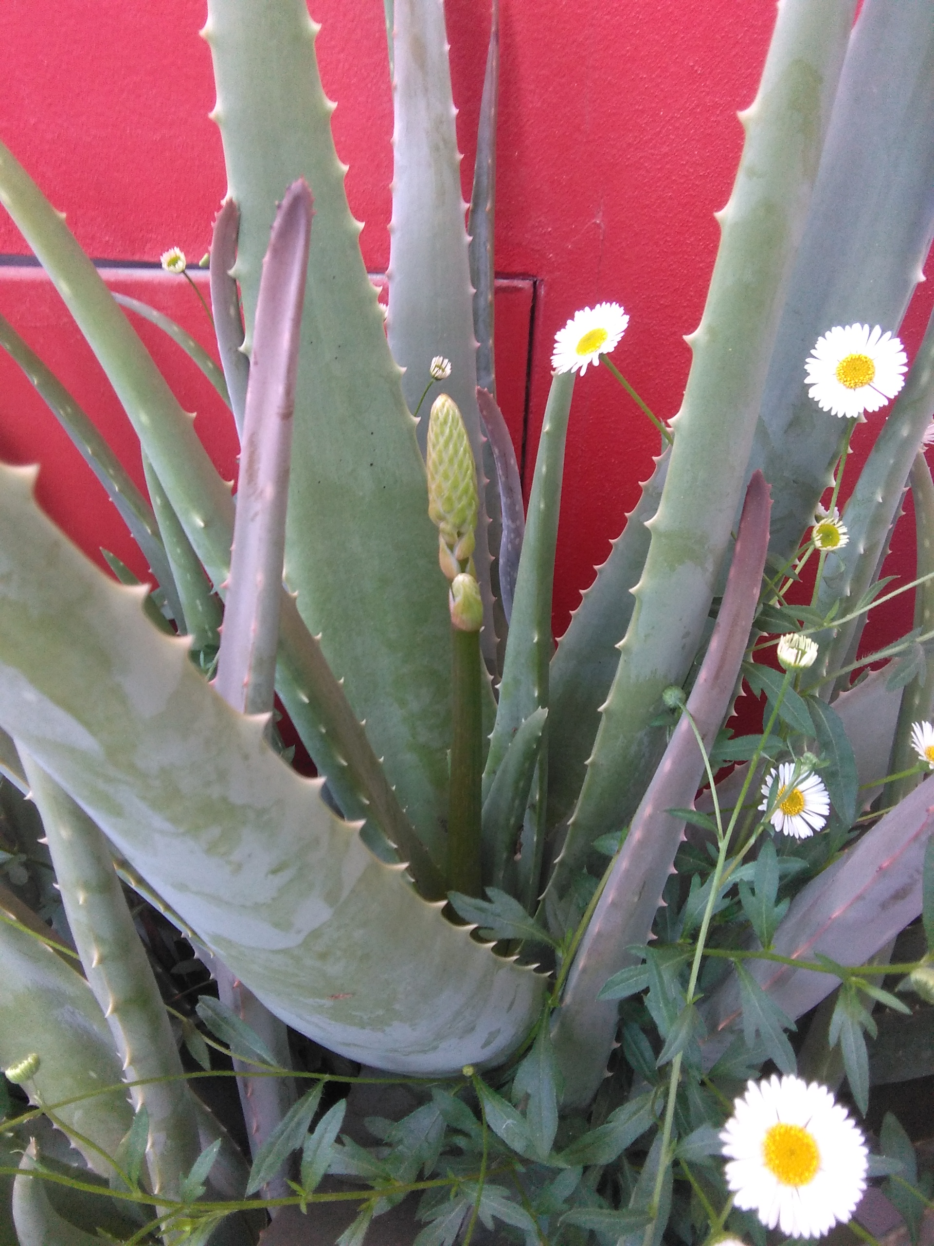Perché coltivare una aloe vera in casa o terrazzo
